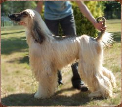 beautiful photo of Afghan Hound Romeo