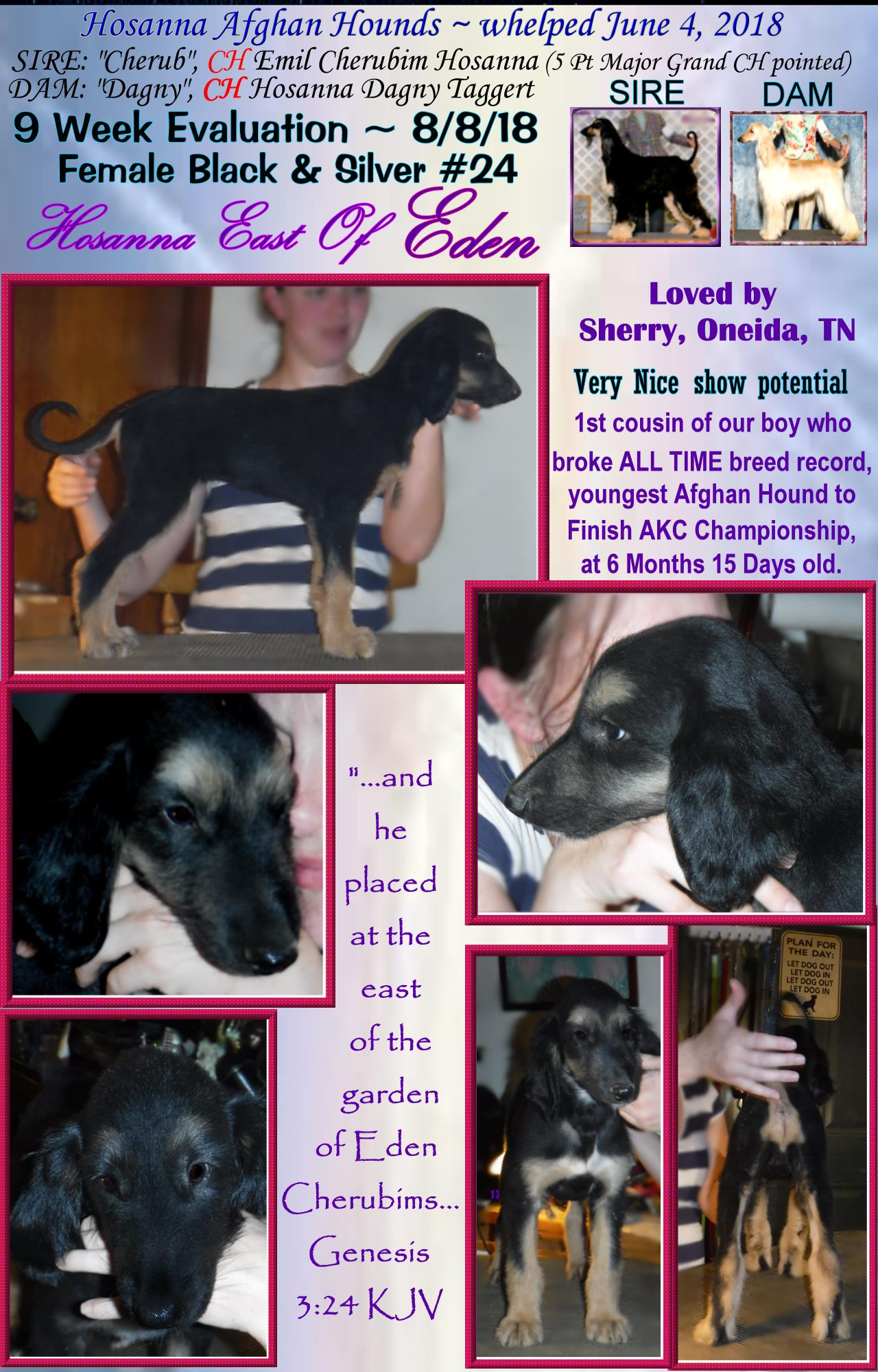 AKC Litter puppy evaluation photos 9 week old afghan hounds puppies
