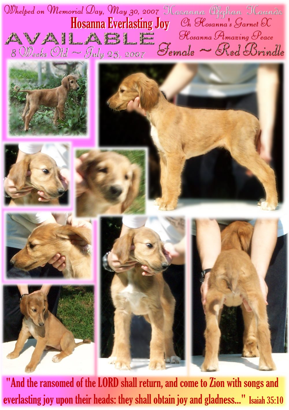 aaawww Afghan Hound PUPPIES 8 weeks evaluation photographs Champion