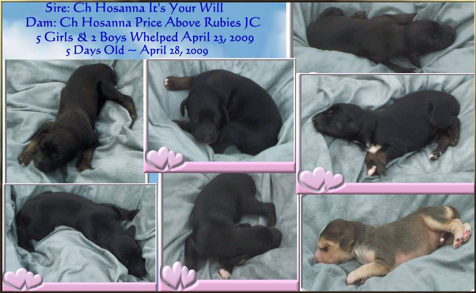 aaawww Afghan Hound puppies for sale cute monkey whishers