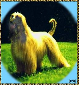 Hosanna Song of Moses - Afghan Hound photograph