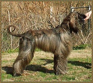 photograph of Afghan Hound - Zowie - Hosanna Promised Land