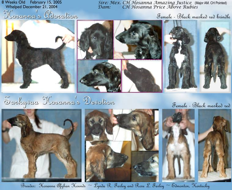 photo of 10 Afghan Hound puppies, AKC registered, 8 weeks old, in show stacking poses, also links to enlargements of each photograph