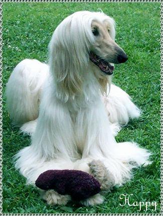white Afghan Hound ani...