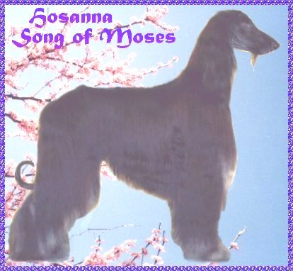 Hosanna Song of Moses - Afghan Hound photo