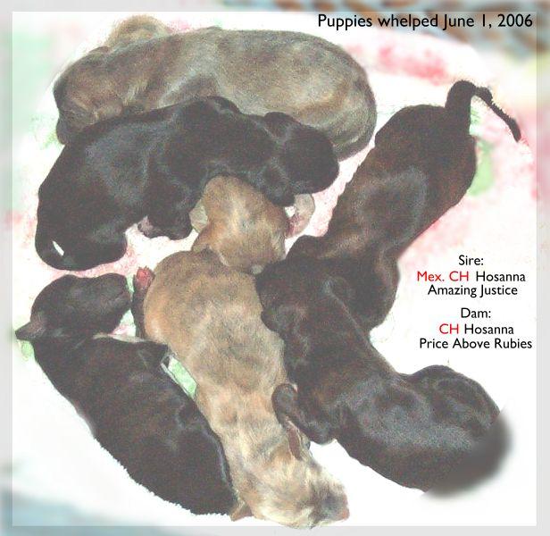 newborn Afghan Hound puppies picture