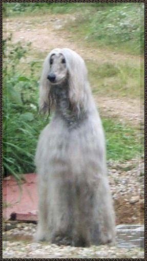 Afghan Hound For Sale Show Quality Dog For Pet Companion