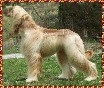 Afghan Hound photo Hosanna Precious Gift - dam of this litter whelped October 12, 2003