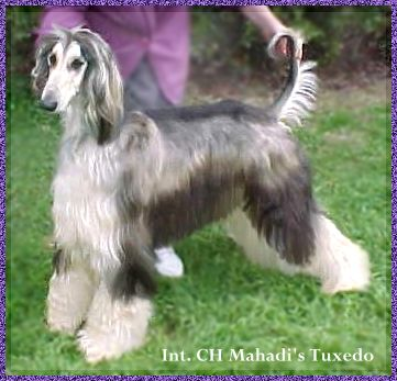 Afghan Hound photograph picture Mahadi's Tuxedo domino dog AKC registered