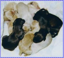 Afghan Hound puppies home page AKC registered AFGHAN HOUND