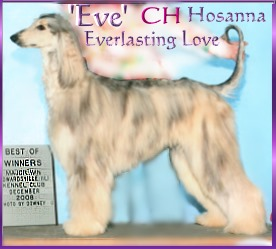 Hosanna Song of Jesse - AKC registered Afgan hound dog
