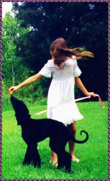 Photo of 2 year old male AKC registered AFGHAN HOUND Champion Hosanna Hell Trembles