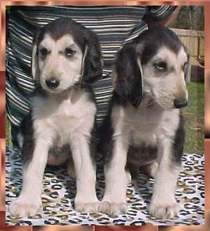 aaawww mahadi afghan hound breeder puppies dogs for sale
