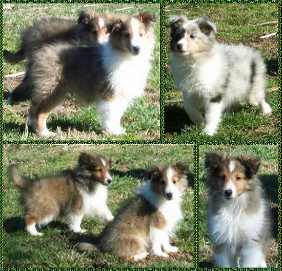 beautiful photo collage - CUTE Sheltie puppies - 4 photos in one - SKY